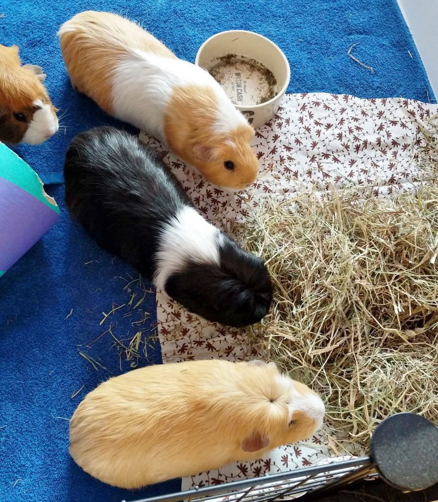 image of four guinea pigs