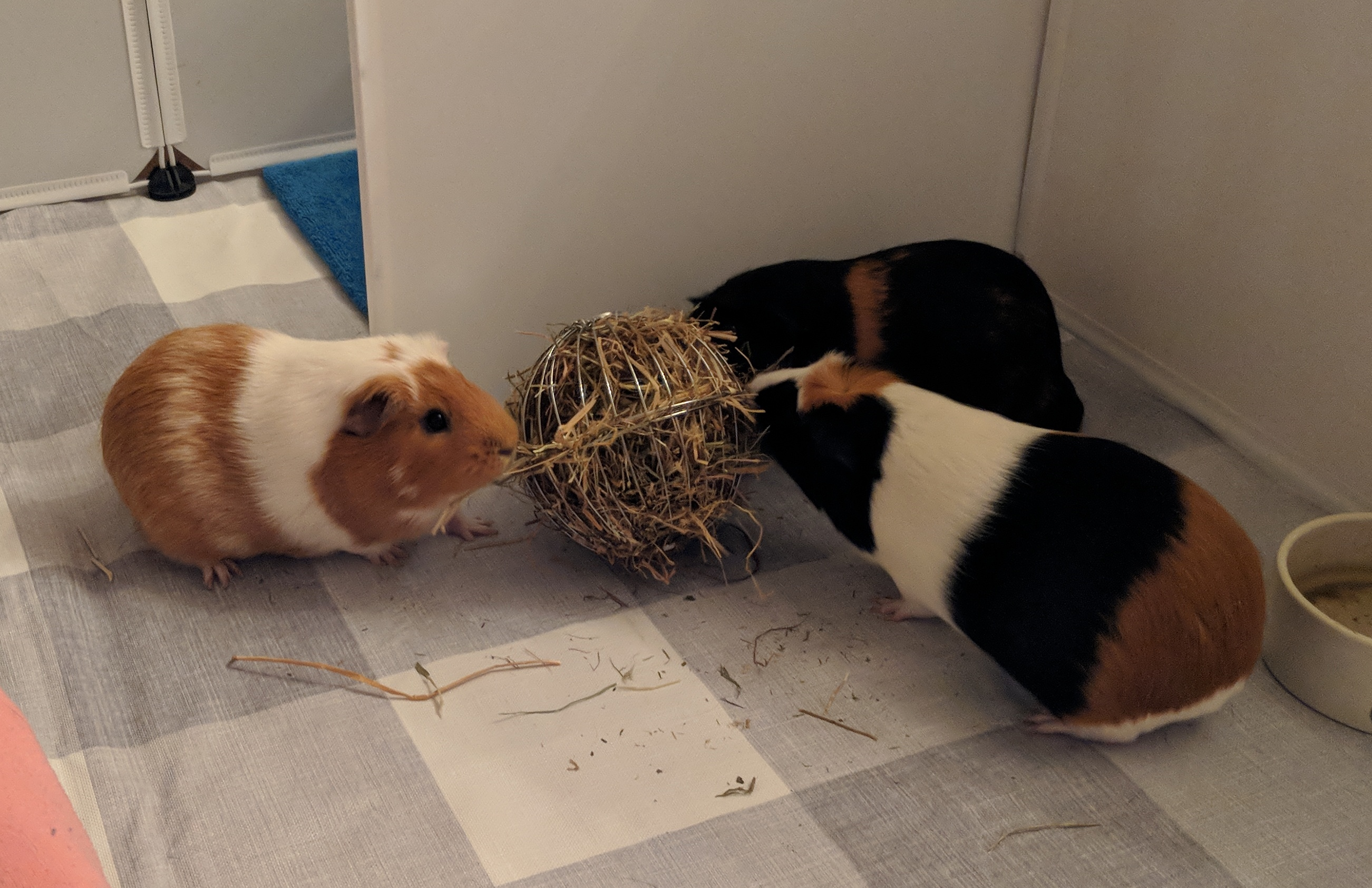 Do you know these interesting guinea pig facts?