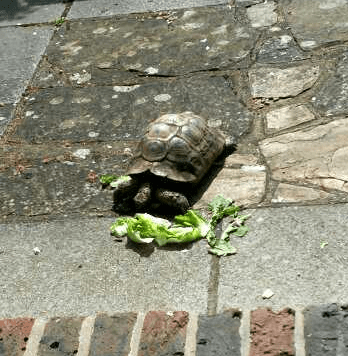 a tortoise eating some greens
