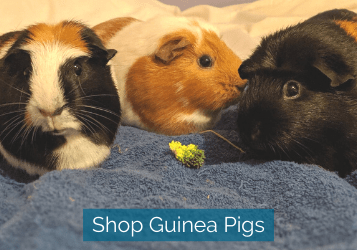 shop guinea pigs