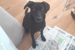 The Chocolate Incident: What happens when your dog eats chocolate