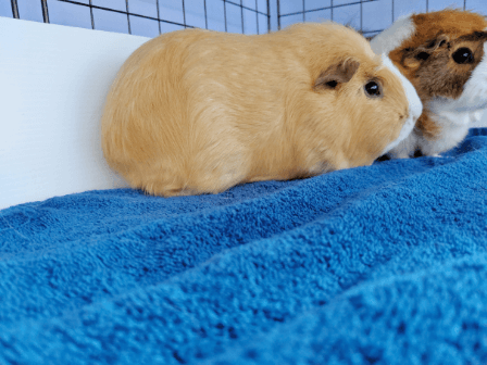 a ginger guinea pig