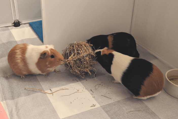 Read more about the article Do you know these interesting guinea pig facts?
