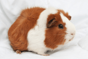 First time guinea pig supplies you need to own