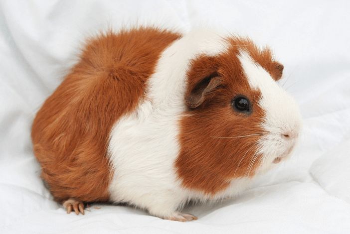 Read more about the article First time guinea pig supplies you need to own