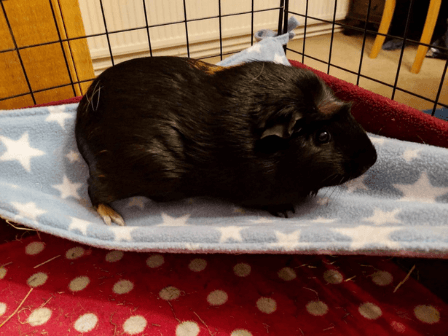 a guinea pig resting on a fleece hammock
