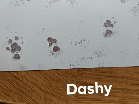 guinea pig paw prints for a pet keepsake