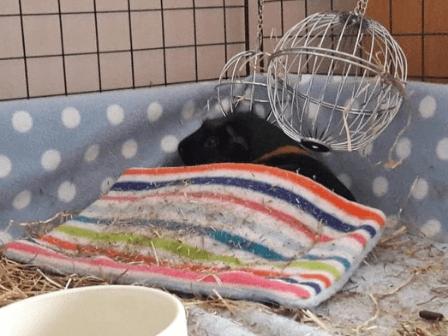 guinea pig sleeping underneath a fleece pad