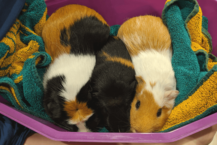 Read more about the article How to bath a Guinea Pig like an expert