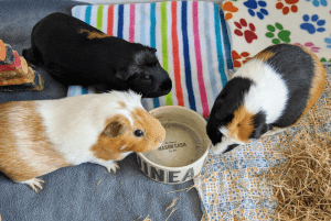 Read more about the article How to choose the best place and size for your guinea pig cage
