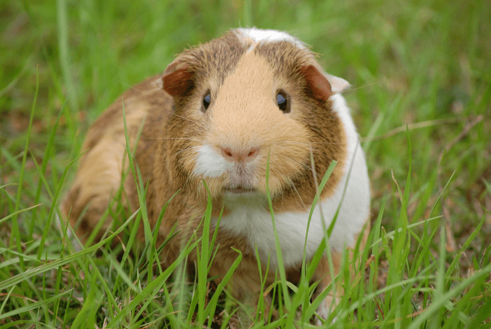Read more about the article How to make unique c&c cages for your guinea pigs