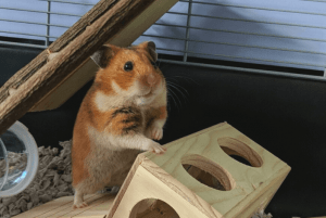 How to set up a good cage for a Syrian hamster