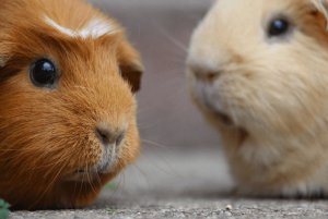 Read more about the article Quick guide on how to cut guinea pig nails