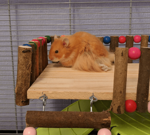 a long haired hamster