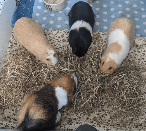 a group of 4 guinea pigs eating a pile of hay