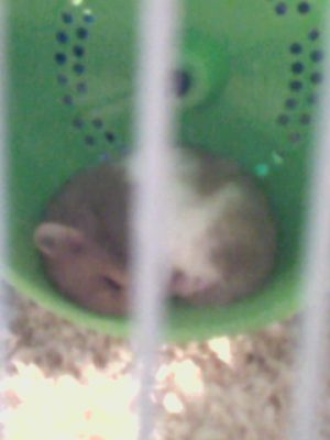 Picture of a hamster