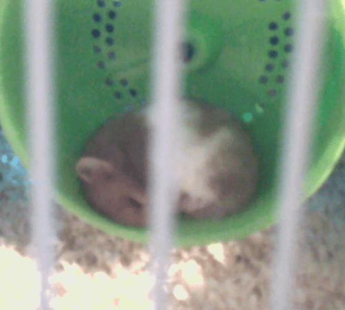 NomNom sleeping in his wheel