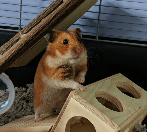 a hamster climbing on a wooden toy