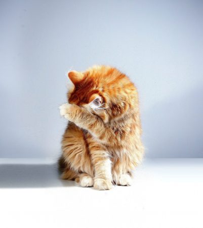 ginger cat covering it's face